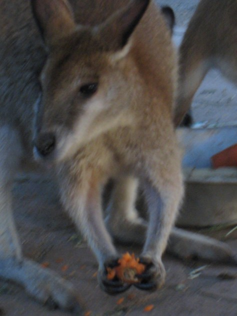 So close you could dine with them, the animals of Featherdale Wildlife Park are almost nose-to-nose with the tourists. This wallaby is enjoying a carrot but those eyes are asking Betsy if she has any other treats.
