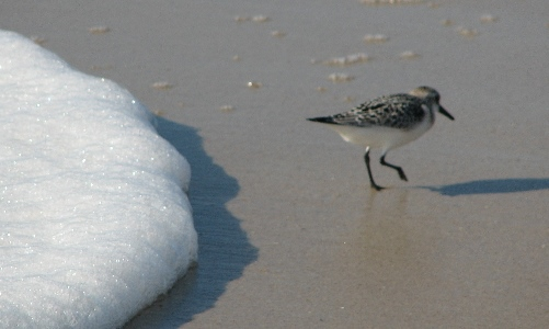 Bird running on the beach, chased by surf foam.