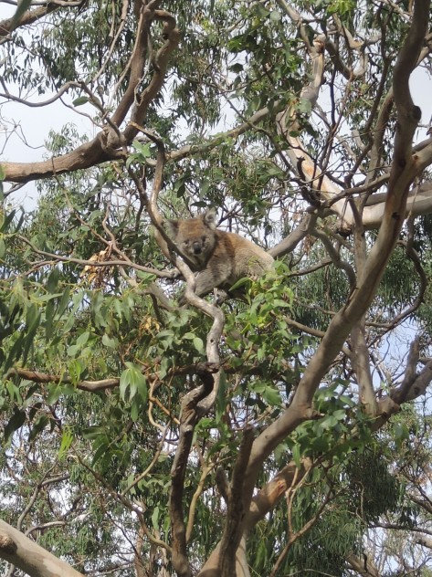 This koala awoke from 18-hour-a-day napping to have a snack in the eucalyptus tree she calls home, shelter, and her dinner table.