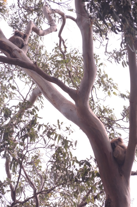 Whether we looked high or low, there were Koalas like these two in the trees of Otway State Park, southern Australia.