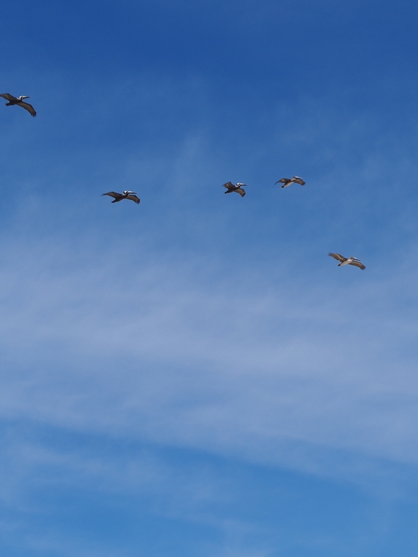 Pelicans Flight