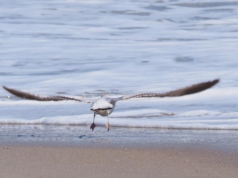 Gull Fly1