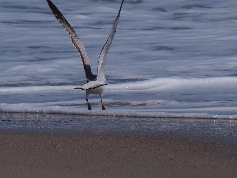 Gull Fly2